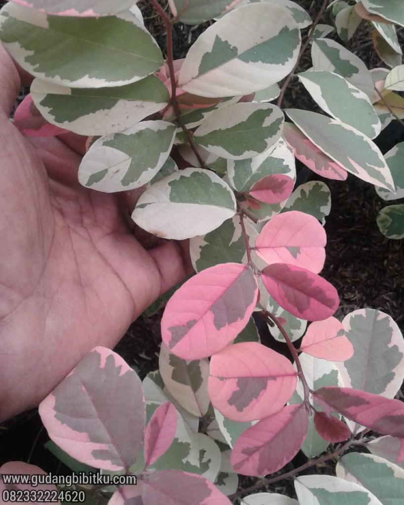 Tanaman hias daun merah muda