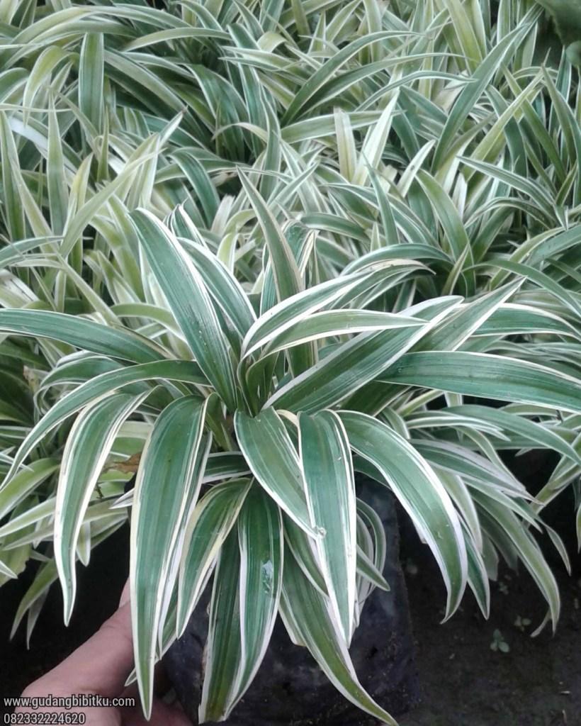 Manfaat tanaman lili paris
