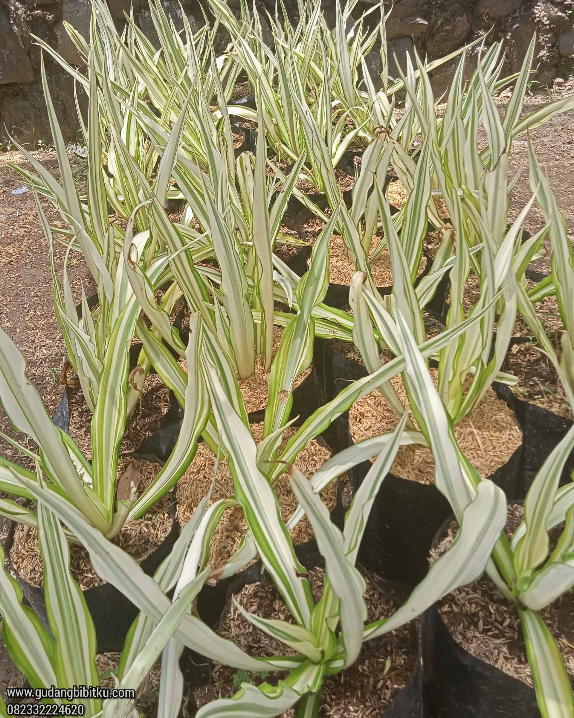 Jual tanaman agave