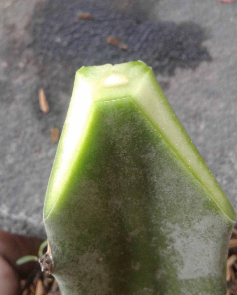 Cara memperbanyak kaktus