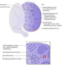 schematic diagrams show representative section views of the mesonephros of female and ovary the tissues and cells that make up the ovary are shown  [ 2717 x 2696 Pixel ]