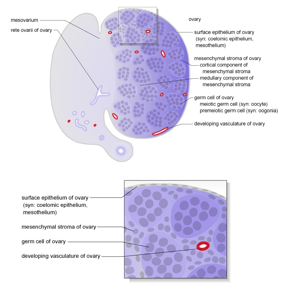 medium resolution of schematic diagrams show representative section views of the mesonephros of female and ovary the tissues and cells that make up the ovary are shown