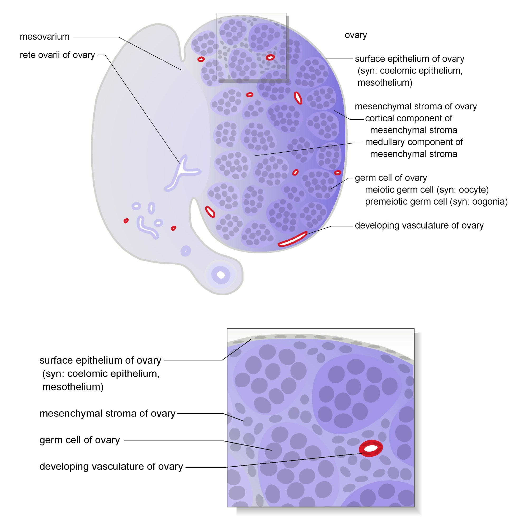 hight resolution of schematic diagrams show representative section views of the mesonephros of female and ovary the tissues and cells that make up the ovary are shown