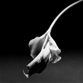 Robert Mapplethorpe, Calla Lily, 1986. Gelatin silver print, 36 1/2 x 36 1/2inches (92.7 x 92.7 cm)