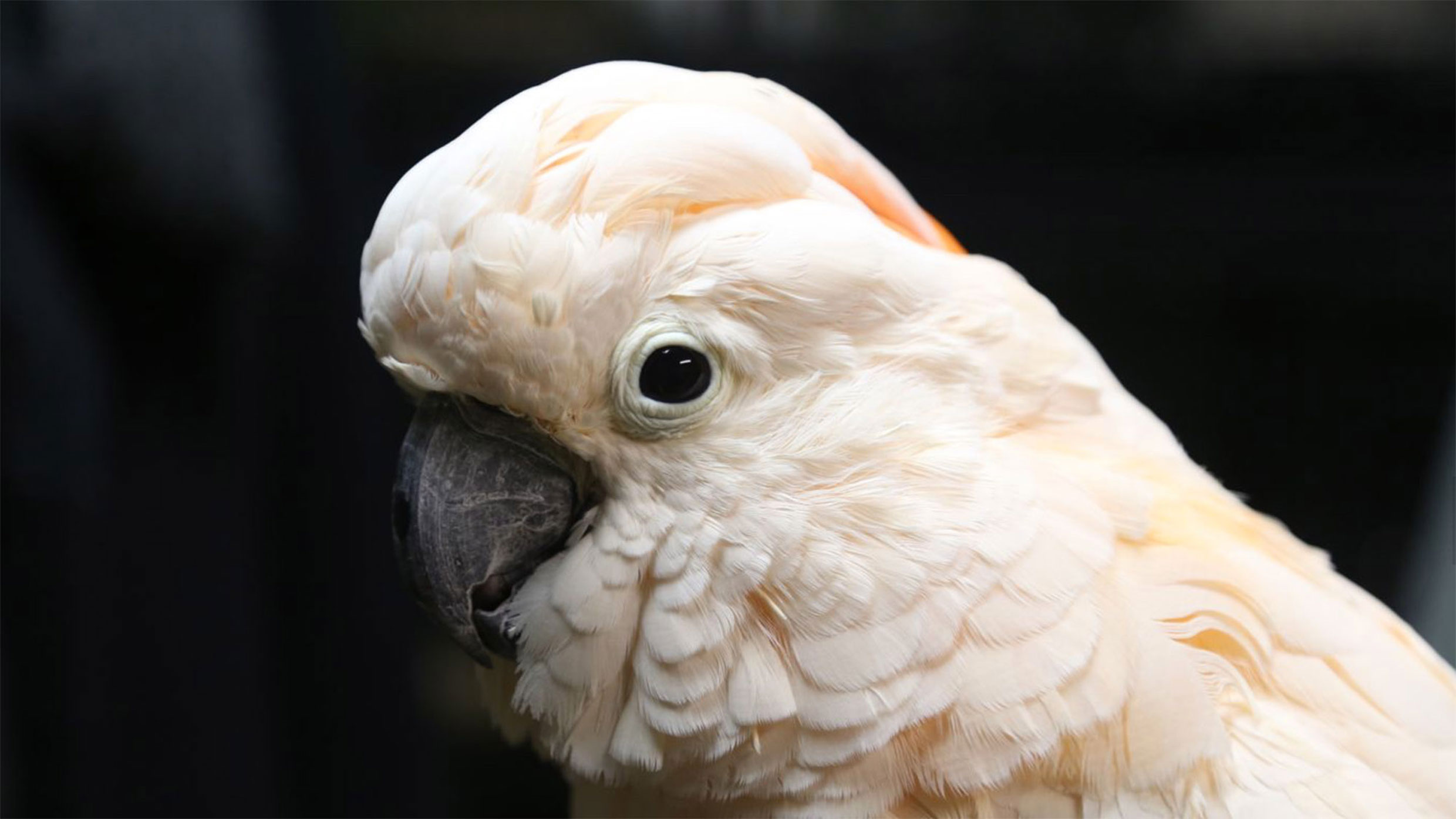 Pinkie, a salmon-crested or Moluccan cockatoo, is staying at the Guggenheim for the month of June. Photo: Giacomo Francia
