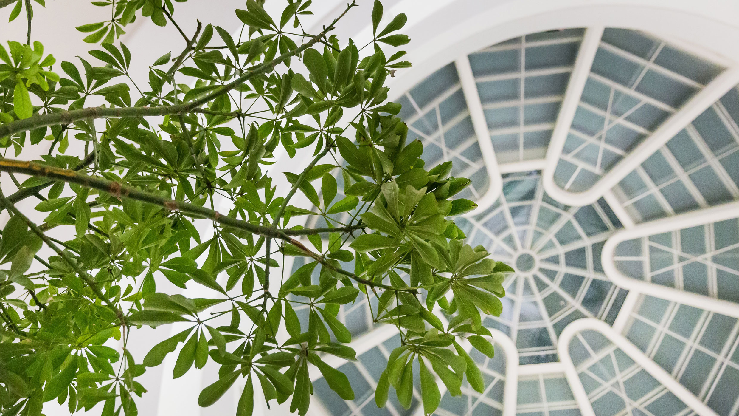An 18-foot tree spreads its leaves beneath the oculus in the Guggenheim. Photo: Scott Rudd