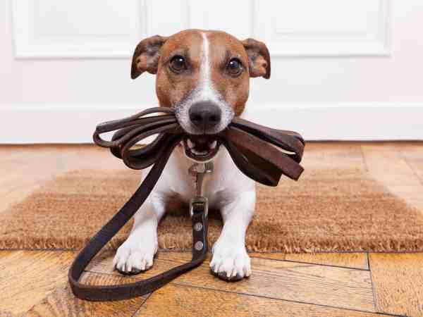 Imagem de cachorro segurando sua guia.