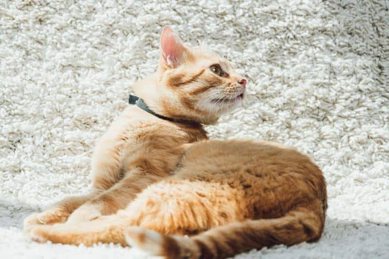 orange cat on a white background