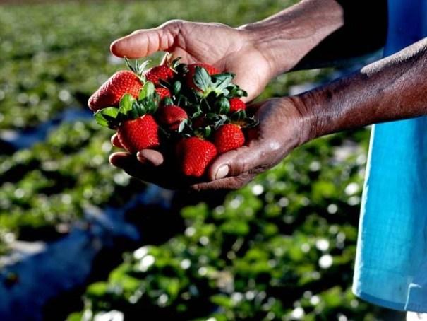 Festa do Morango. Plantação de morangos no Setor Rural Chapadinha, em Brazlândia (Foto: Andre Borges/Agência Brasília)