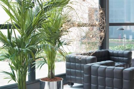 La Kentia  Plantas de Interior