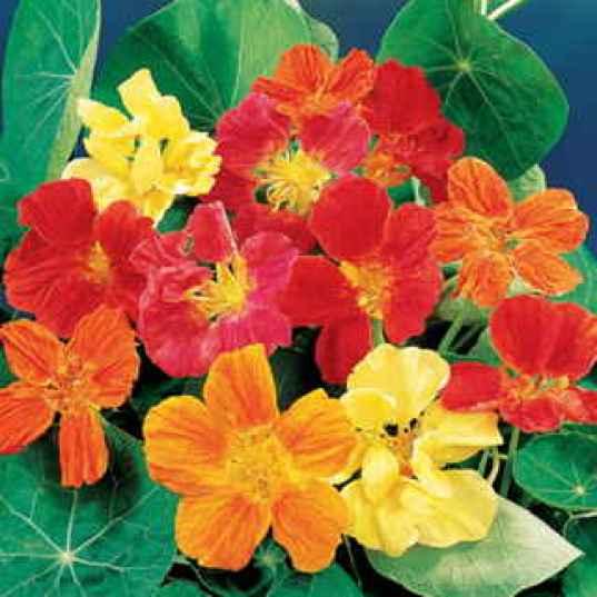 Il Nasturzio è un fiore variamente e intensamente colorato, i suoi toni sono caldi e vanno dal rosso al giallo all'arancio