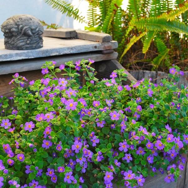 La Bacopa necessita di un terriccio ricco e ben drenato e di un'esposizione in semi ombra