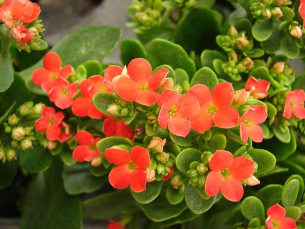 La Colancola o Kalanchoe blossfeldiana è un'altra pianta arbustiva perenne che ci può dare ottimi risultati se coltivata in interni