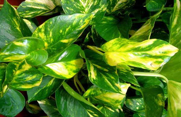 Il Pothos, o Epipremnum Aureum, è una pianta sempreverde comunemente utilizzata come ornamento per via della sua notevole capacità di adattamento e della grande resistenza