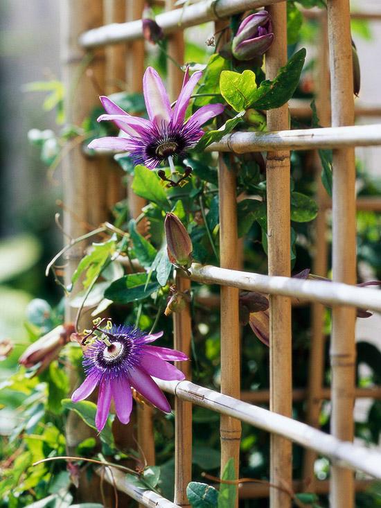 Passiflora: non gradisce i ristagni d'acqua nel terreno, pertanto sia in vaso che a terra necessita dell'aggiunta di una parte di sabbia per migliorare le capacità idriche de l suolo e garantire un rapido drenaggio