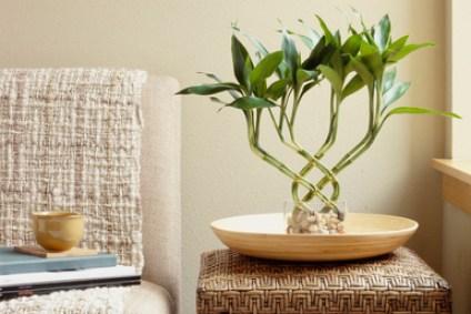 Il bambù della fortuna, che in realtà non è un bamboo ma una pianta appartiene alla famiglia delle Ruscaceae