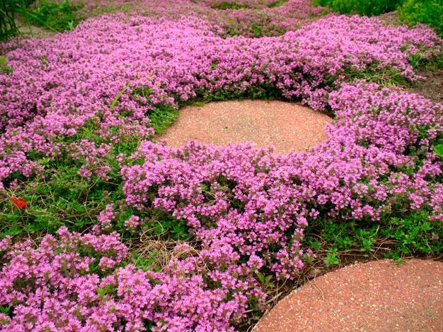 Il Thymus serpyllum L., anche detto pepolino o timo selvatico, è una pianta molto diffusa e da sempre utilizzata a scopo ornamentale