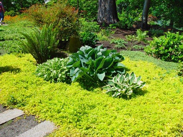 Lysimachia nummularia, una pianta strisciante che si propaga molto e piuttosto velocemente