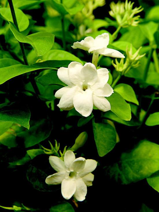 Il Gelsomino arabo, o Jasminum Sambac, è facilmente riconoscibile dal profumo dolce dei suoi fiori