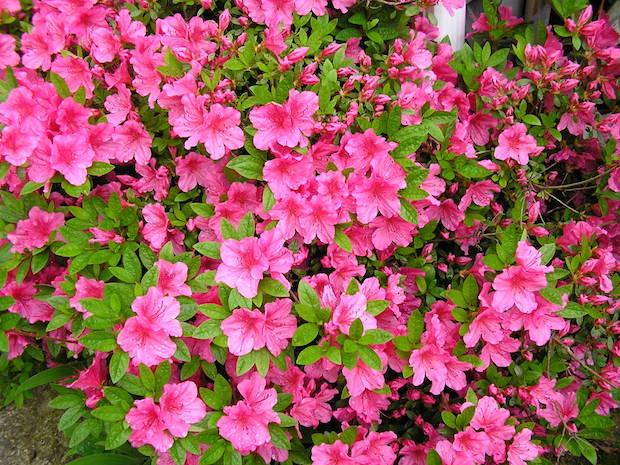 L'azalea è una pianta ornamentale che rientra nel genere Rhododendron, di cui fanno parte due sottogruppi: i rododendri e le azalee
