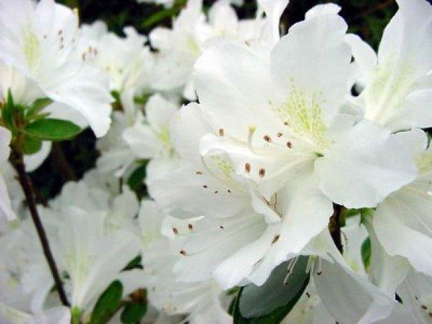 azalea bianca