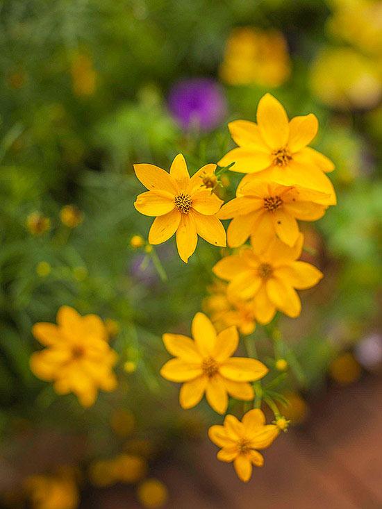 Il genere Coreopsis 'Moonbeam' è una pianta perfetta per rendere meno spoglio il giardino in inverno