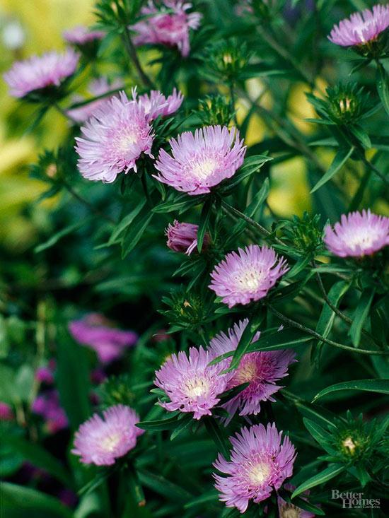 Le Aster sono meravigliose piante cespugliose che presentano fiori variamente colorati, dal lilla al rosa al giallo dorato, a forma di stella