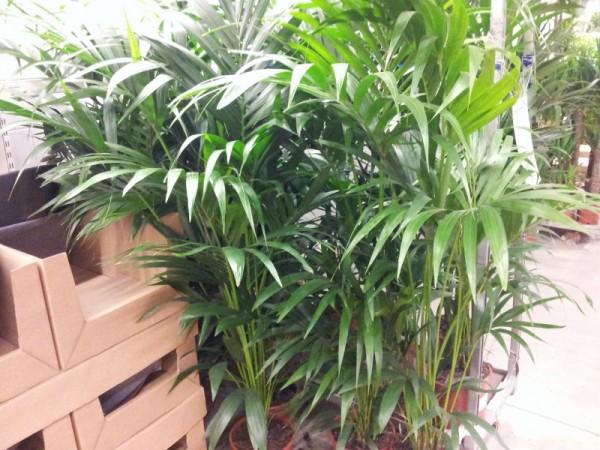 Le piante di grandi dimensioni, e le palme in particolare, rappresentano uno degli elementi decorativi più suggestivi, in grado di stravolgere completamente l'aspetto e l'atmosfera dell'abitazione