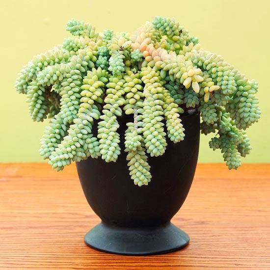 Sedum morganianum, una succulenta a portamento ricadente perfetta, ad esempio, per essere coltivata in vasi appesi
