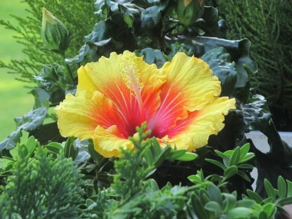 L'ibisco è una pianta molto conosciuta, in realtà è un genere di piante, Hibiscus, che comprende oltre 150 specie