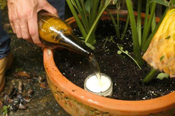 Per eliminare lumache e lumaconi, impedendo loro di mangiare le nostre colture, esiste un trucchetto davvero infallibile: interrare nel suolo, proprio vicino agli impianti di cui sono ghiotti questi insetti, come ad esempio le insalate, un contenitore pieno di birra