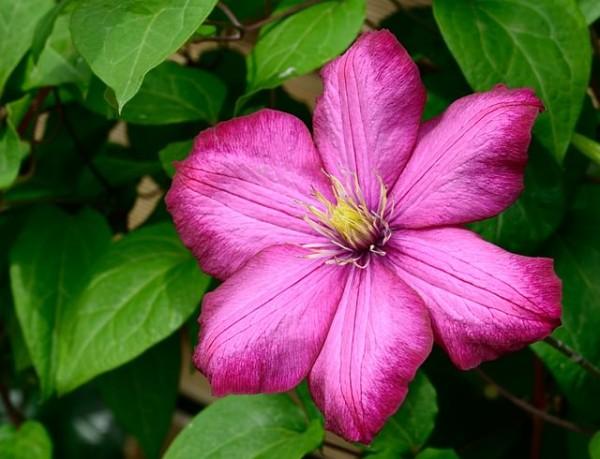 Clematis, piante perenni, dall'aspetto cespuglioso e dalle copiose infiorescenze