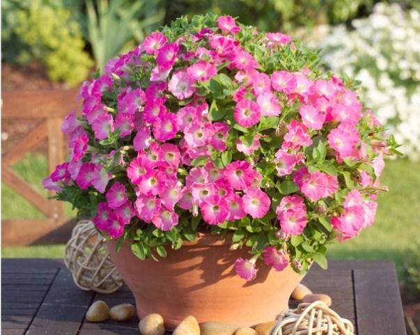 La caratteristica vincente della Calibrachoa, detta anche petunia nana, è infatti la sua crescita compatta a cuscino
