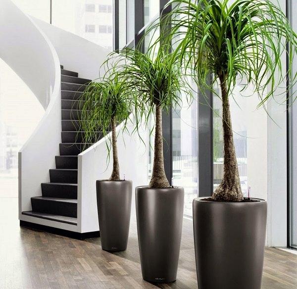 Le Beaucarnea recurvata, detta anche \u201cpiede di elefante\u201d o \u201cmangiafumo\u201d, è  una pianta altamente decorativa che somiglia molto ad una palma; si tratta  di un