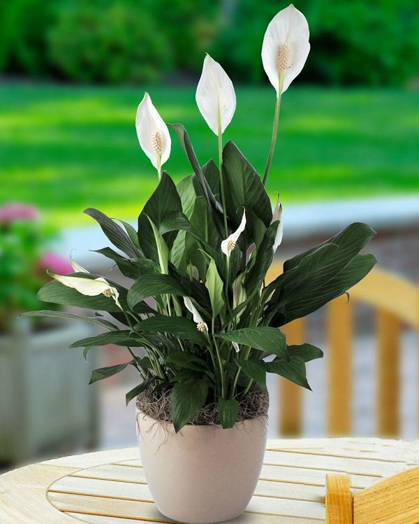 Lo Spathiphyllum è una deliziosa pianta molto apprezzata sia per il fogliame che per i fiori bianchi