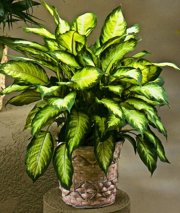 La Dieffenbachia è una pianta erbacea perenne e sempreverde, che presenta meravigliose foglie variegate