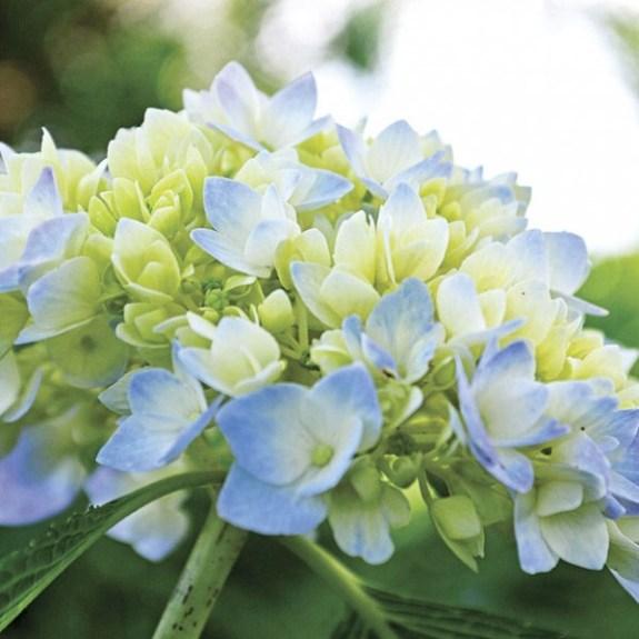 """La famiglie delle ortensie comprende molte varietà, tra cui la rifiorente ortensia """"Endless Summer"""", una pianta che supporta le basse temperature e la mancanza di luce e che fiorisce per tutta l'estate"""