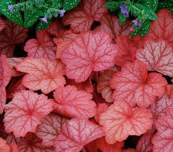 La Heuchera è una pianta perenne, tappezzante e semi sempreverde, che viene coltivata esclusivamente per il suo fogliame che può essere costituito da foglie di colorazione variabile tra il rosso, l'argento, il bronzo e il viola