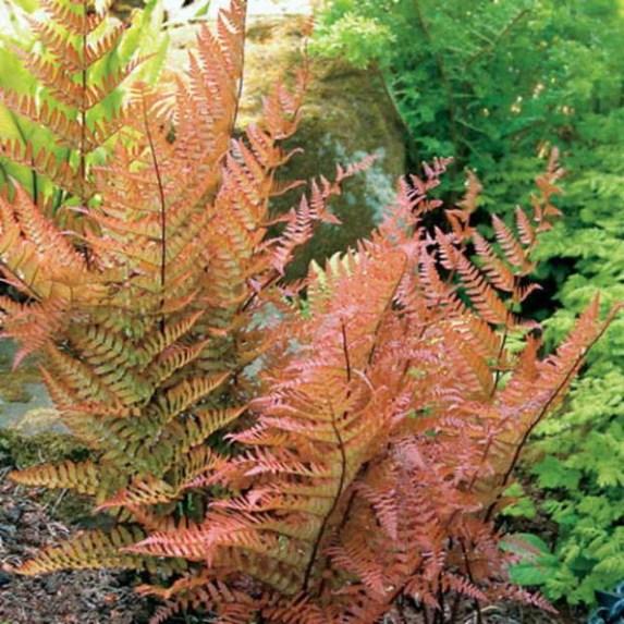 La Dryopteris erythrosora è una felce naturale e sempreverde, che presenta bellissime foglie palmate alcune di colore verde lucente altre con intense striature ramate