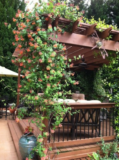 Il Caprifoglio rampicante è una pianta ornamentale molto ricercata; si tratta di una specie rigogliosa e robusta, in grado attorcigliarsi da sola su qualsiasi supporto