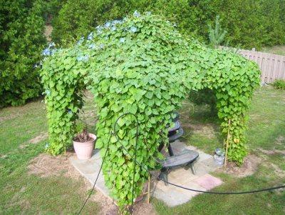 """La cosiddetta """"campanella rampicante"""", Ipomoea purpurea, è una rampicante molto facile da coltivare e dalla rapida crescita"""