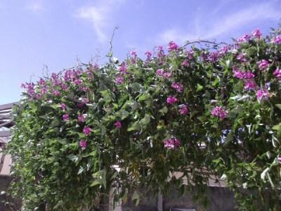 Il pisello odoroso, o Sweet pea, è una pianta annuale rampicante che offre fiori molto decorativi e profumati