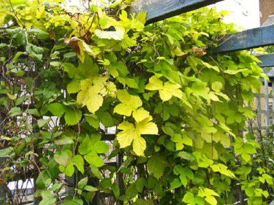 Il Luppolo, Humulus lupulus, è una rampicante dalla crescita molto rapida, che può raggiungere gli 8 metri di altezza ed è caratterizzata dalla colorazione giallognola del fogliame