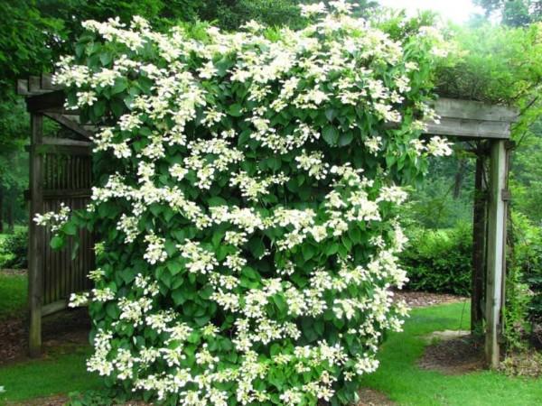 18 piante rampicanti per il pergolato guida giardino - Rampicanti sempreverdi a crescita rapida ...