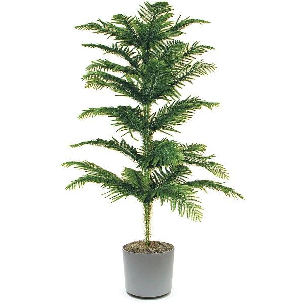 Ilpino Norfolk è una pianta d'appartamento che cresce nel suo stato naturale sino a 65 metri di altezza e se coltivato in ambienti chiusi in un contenitore non supera i 2-3 metri di altezza