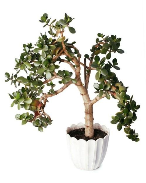 LaCrassola ovataè una pianta d'appartamentosucculentache richiede pochissima manutenzione, si adatta alle diverse condizioni di luce e può raggiungere fino a 3 metri di altezza