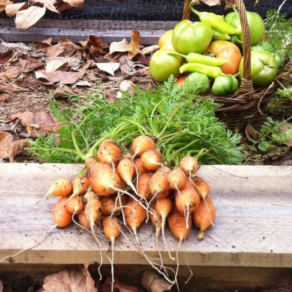 """Ci sono molte varietà di carote nane che possono essere coltivate durante tutto l'anno, ad esempio la varietà """"Amsterdam"""" e le sue selezioni quali la """"Minicore"""""""