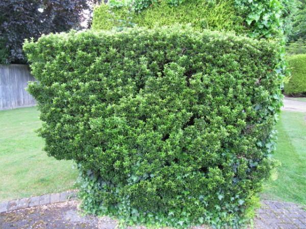 L'Evonimo, Euonymus alatus, è un genere che raggruppa diverse varietà di arbusti ed è ideale per sostituire il bosso