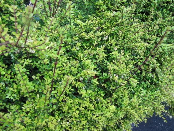 La Lonicera nitida, conosciuta col nome di caprifoglio, è ampiamente utilizzato dai giardinieri proprio in sostituzione del bosso.