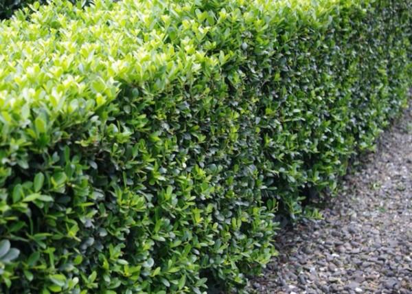 La Lonicera nitida, conosciuta col nome di caprifoglio, è ampiamente utilizzato dai giardinieri proprio in sostituzione del bosso.  Si tratta di una pianta fitta, vigorosa e sempreverde, molto resistente alla siccità e al gelo, che può raggiungere un'altezza massima di circa 2 metri; esistono varietà a foglia gialla, verde e variegata.  3.  L'agrifoglio giapponese, Ilex crenata, è molto simile al bosso; le sue foglie sono piccole e arrotondate, completamente prive delle formazioni affilate e taglienti tipiche dell'agrifoglio europeo.